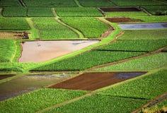 Lettuce fields stock image
