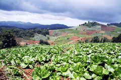 Lettuce filed. In the mountain, north of thailand Stock Photography