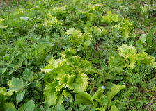 Lettuce flowerbed full of weed, needs care and weeding. Green grass Stock Images