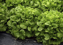 Lettuce in a French Village Market Stock Image