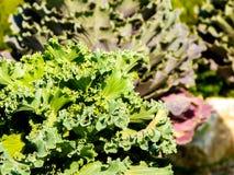 Lettuce. Fresh lettuce in a farm Stock Photos