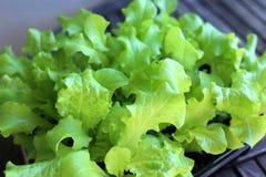 Lettuce. Fresh green lettuce in the pot Royalty Free Stock Images