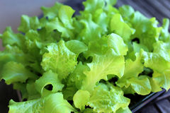 Lettuce. Fresh green lettuce in the pot on the windowsill Royalty Free Stock Photos