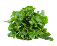 Lettuce Freshly Picked stock image