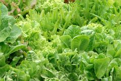 Lettuce Garden Royalty Free Stock Photo