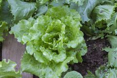 Lettuce in the garden Royalty Free Stock Photos