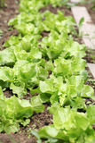 Lettuce in garden bed. Lettuce growing in rows in the garden bed stock images