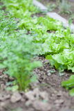 Lettuce in garden bed. Lettuce growing in rows in the garden bed royalty free stock photos