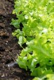 Lettuce garden. Royalty Free Stock Image