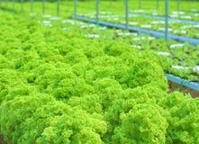 Lettuce at the garden. Growing organic lettuce in the garden Stock Photos