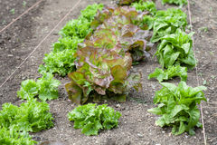 Lettuce Garden Stock Photography