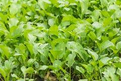 Lettuce in garden, Thailand asia Royalty Free Stock Photo