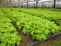Lettuce garden under greenhouse Royalty Free Stock Images