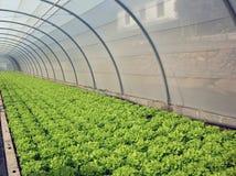 Lettuce germination Royalty Free Stock Photo