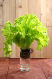 Lettuce in a glass of water Royalty Free Stock Image