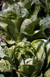 Lettuce. Green crops of lettuce in countryside Stock Photography