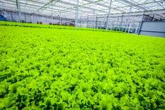 Lettuce green field - organic food stock photos