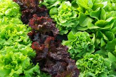 Lettuce green fresh plant Royalty Free Stock Image
