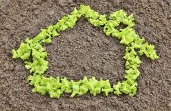 Lettuce green house Stock Photos