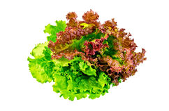 Lettuce green and red Stock Image