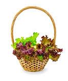 Lettuce green and red in a wicker basket Royalty Free Stock Image