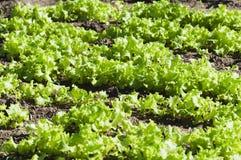Lettuce. Green vegetables summer sun - lettuce Royalty Free Stock Photo