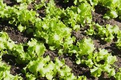 Lettuce. Green vegetables summer sun - lettuce Stock Image