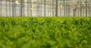 Lettuce in the greenhouse. 