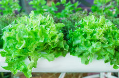 Lettuce in the greenhouse Stock Images