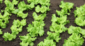 Lettuce growing Royalty Free Stock Image