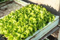 Lettuce growing in cultivation tray royalty free stock image