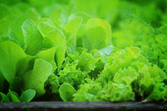 Lettuce growing in eco-friendly garden Stock Photography