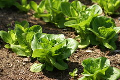 Lettuce growing in a field, garden, or land Stock Photography