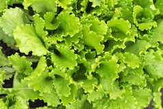 Lettuce growing in the garden Royalty Free Stock Photography