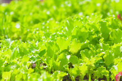 Lettuce growing on garden beds, natural background Royalty Free Stock Photography