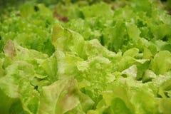 Lettuce growing in the garden. Stock Photos