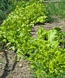 Lettuce growing in garden, organic green salad Royalty Free Stock Photography