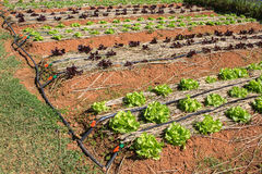 Lettuce growing in garden at summer Stock Photos