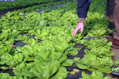 Lettuce Growing in Greenhouse. Growing fresh butter lettuce in a greenhouse Royalty Free Stock Photography