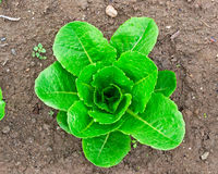 Lettuce Growing on the Ground Royalty Free Stock Image