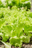 Lettuce growing in home garden Royalty Free Stock Images