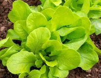Lettuce growing in the home green garden royalty free stock image