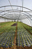 Lettuce growing in lines Stock Images