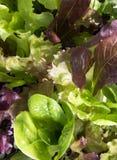 Lettuce growing Stock Image