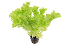 Lettuce growing in a pot. Stock Image