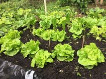 Lettuce  growing in raised bed Royalty Free Stock Photo