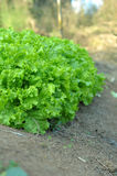 Lettuce growing Stock Photo