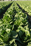 Lettuce Growing In Rows on Southern California Agriculture Farm Royalty Free Stock Photos