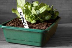 Lettuce growing in a seed tray with germinate on label. With selective colour royalty free stock photography