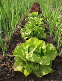 Lettuce growing in soil Royalty Free Stock Image